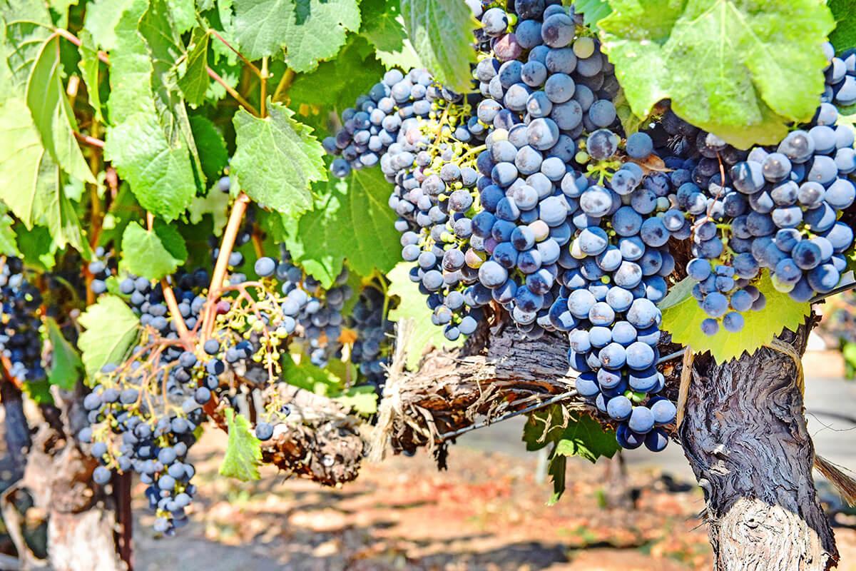 Sonoma Valley grapes