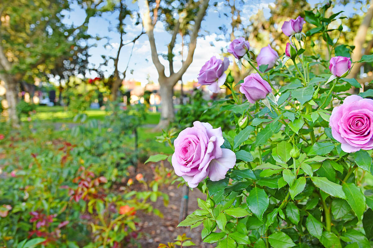 Sonoma Plaza Rose Garden